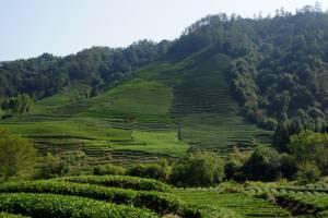 Teesorten China