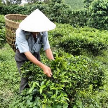 Tee aus China – Geschichte und Teesorten