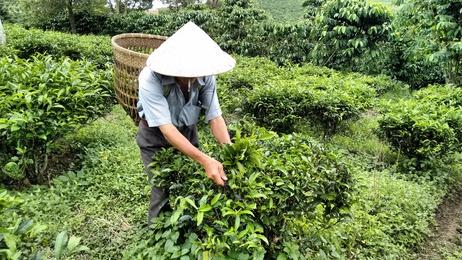 Tee China China Geschichte und Teesorten