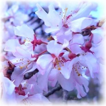 Sakura – Kirschblüte