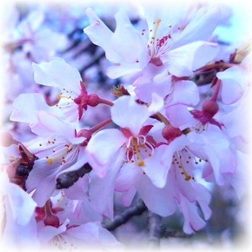 Sakura Kirschblüte