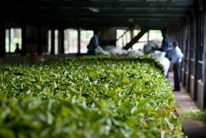 grüner tee sorten