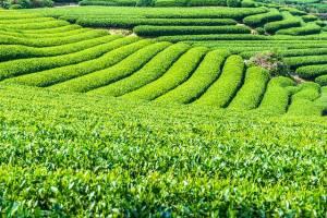 Teesorten Sencha,Kukicha,Bancha