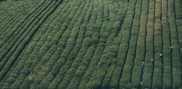 grüner tee gegen krankheit