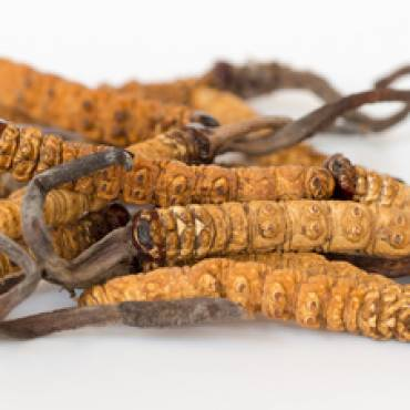 Cordyceps sinensis Heilpilz
