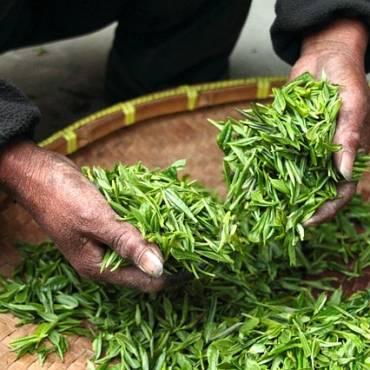 Grüner Tee gesundheitliche Wirkung