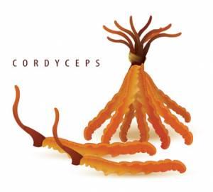 cordyceps sinensis kapseln pulver online kaufen